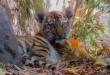 tiger-984956_960_720